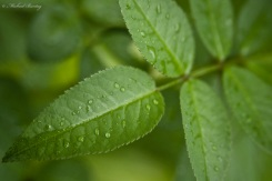 Leaves and Raindrops, Garden, Paranaque